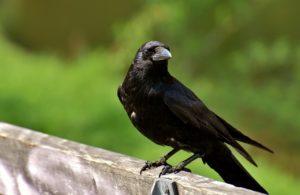 カラスは共食いするってホント?不吉な鳥それとも神の使い?